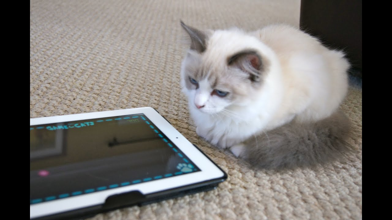 Cute Fluffy Kitten playing on iPad Cutest Kitten Ever