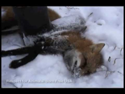 (#6) Trapping Investigation - Illegal Practices (Red Fox in Snare)