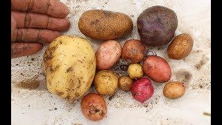 Gardening With Cody 12017 Week 22& 23:  Huge Potato Harvest!