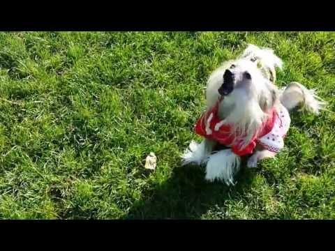 CHINESE CRESTED TALKING DOG SAYS I LOVE YOU - Andorra Top Fiera (Shama)