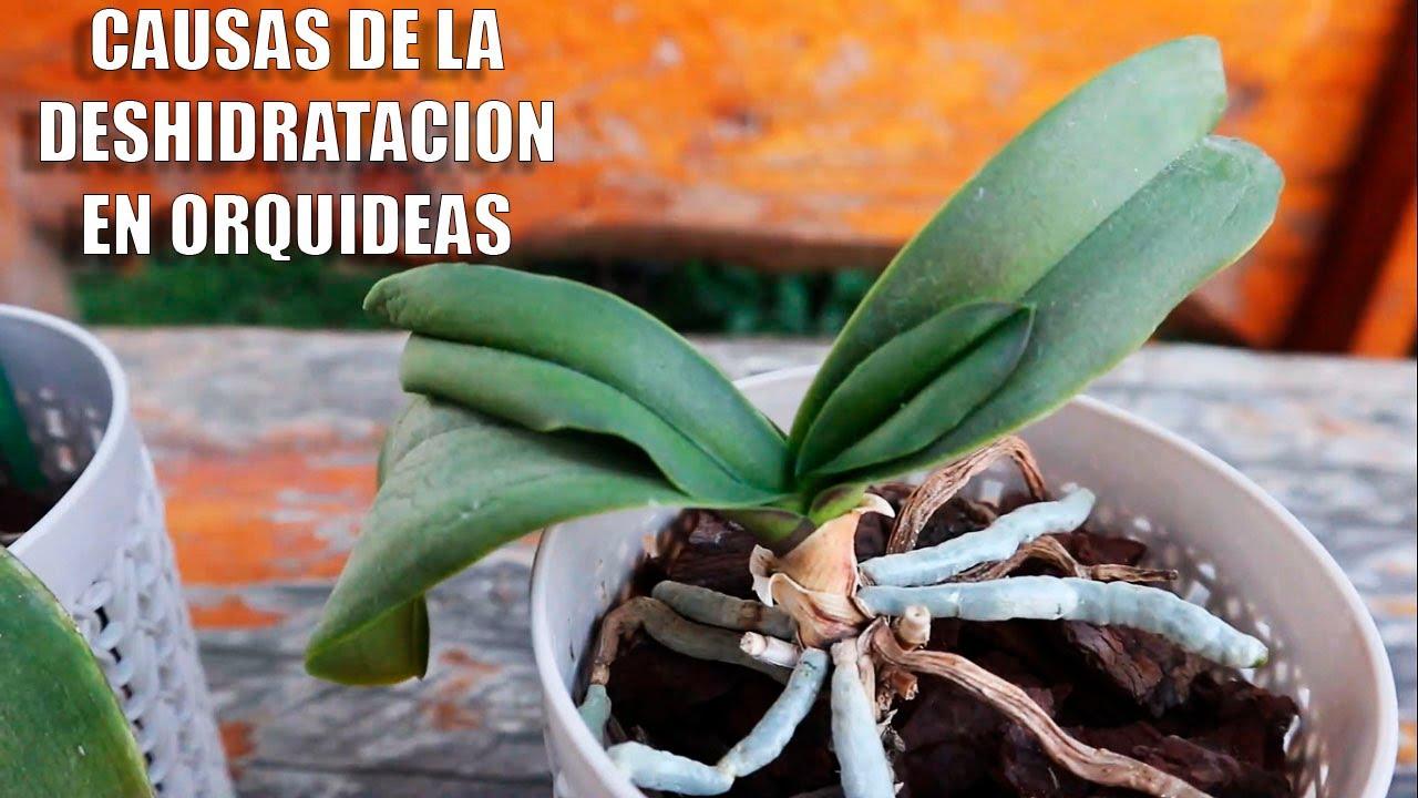 Causas y Solución a la Deshidratación Extrema de Orquídeas en Recuperación  || Orquiplanet