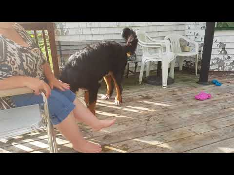 Max our Bernese Mountain Dog trying to rescue his bucket from the pool