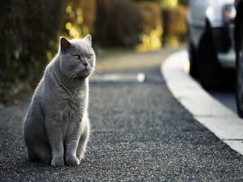 British Shorthair Cat Breed | Facts about British Shorthair Cats