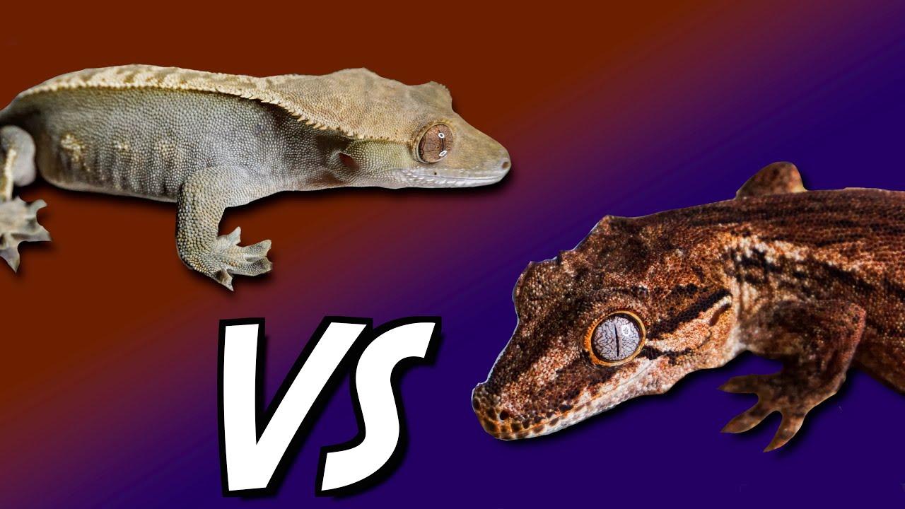 Gargoyle Geckos VS Crested Geckos
