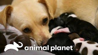 ¡Mamá chihuahua da a luz a 8 cachorros! | Amanda al rescate | Animal Planet