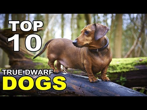 Top 10 True Dwarf Dog Breeds