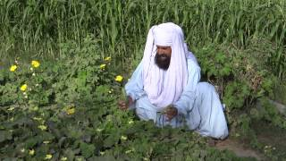 Growing Organic Vegetables from Organic Fertilizer 29 May 2013 in a Village of Bahawalpur Pakistan