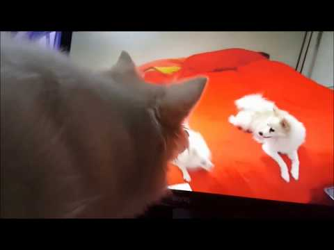 German Spitz Hunts Dogs On The Monitor