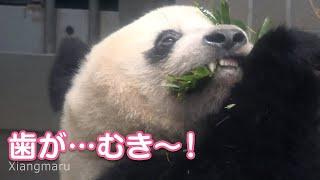 2020/2/22 (5) 下で葉っぱを巻いて、歯がむき~!のシャンシャン Giant Panda Xiang Xiang