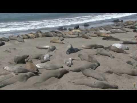 Big Sur Elephant Seals