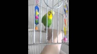 Ручной попугай ТОХА
