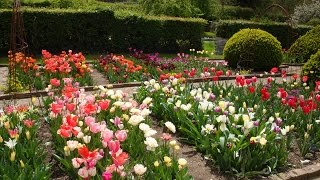 Top tips for growing tulips