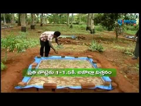 Cultivation of Azolla as a sustainable feed for livestock - Paadi Pantalu