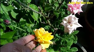 11.How to care rose plant(what to do when your rose plant