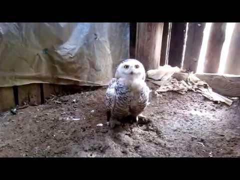"""Белая полярная сова по имени """"Сёмка"""" живёт у друга в сарае"""
