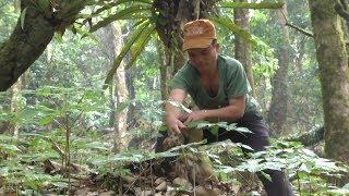 Quảng Nam: Người dân thuê rừng trồng sâm Ngọc Linh