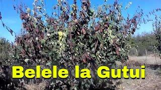 Orchard' Burghila- erwinia amilovora