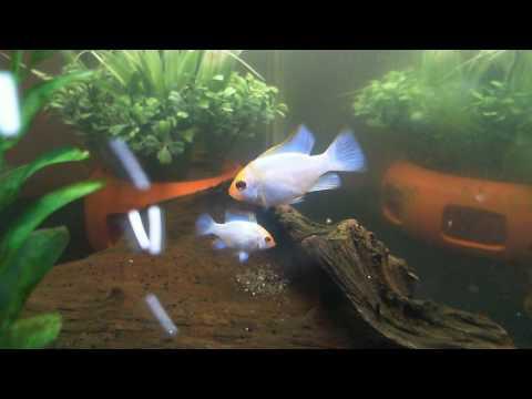 Egg Watching - Electric Blue Ram Cichlid breeding