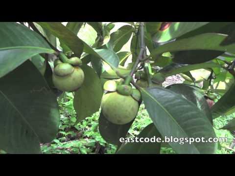Popular Purple mangosteen & Fruit videos