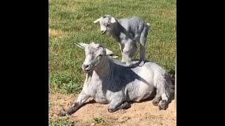 [NEW 2019!!] Funny, Fainting and Cute Goat Videos Compilation