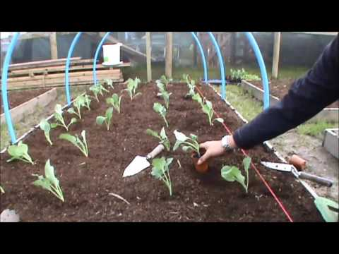Allotment update 9/4/16. Many Things To Plant Out (short version)
