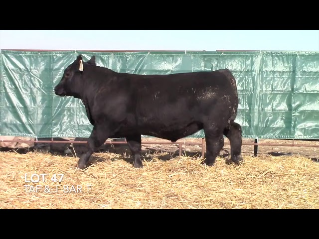 T Bar T and Taliaferro Angus Lot 47