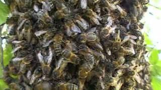 Dance of honeybees Danse des abeilles