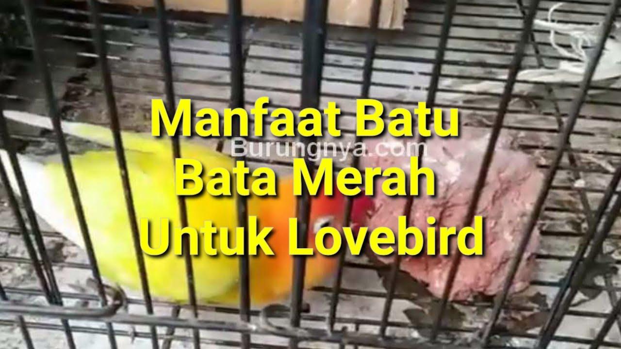 Manfaat Batu Bata Merah Untuk Lovebird dan Efeknya - YouTube