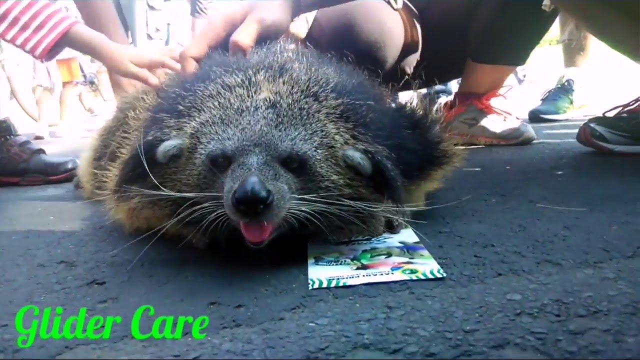 Musang Binturong Bearcat By Fellix Tara