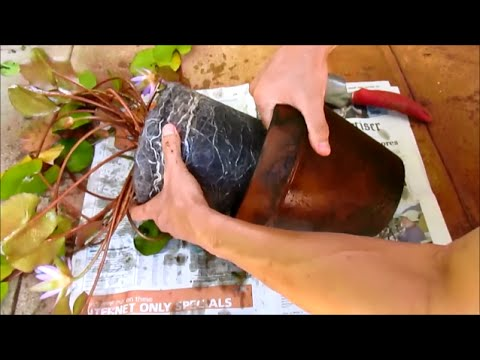Repotting Water Lilies: Revive Dying Water Lily By Replanting