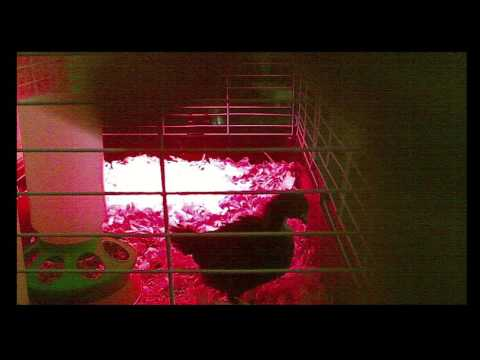 Mendham Township Elementary School Live Chick Stream