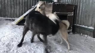 Вязка Западно сибирской лайки и канадского Волка