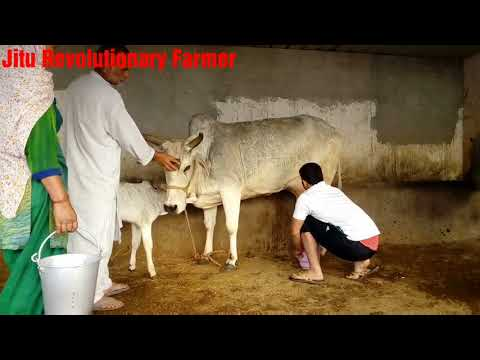 FOR SALE- Desi cow-16 litres/day- A2 Milk- PRICE- 55,000 Rs. @Anjit Dairy,Village Mahra, Sonipat. HR thumbnail