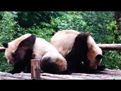 funny-pandas,-resting.