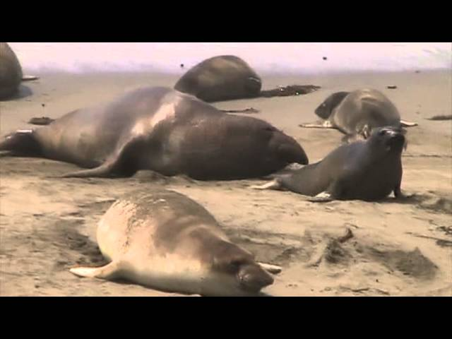 Elephant Seals Mating 3, San Simeon, California Travel Video