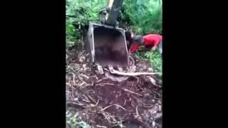 Nebang Pohon Malah Keluar ULAR RAKSASA di Hutan Sumatra HD