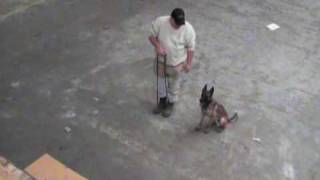 K9 Police Training - Belgium Malinois 3
