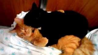 Two funny gay cats kissing and hugging video/Смешные коты-геи целуются и обнимаются