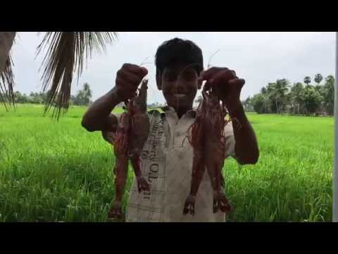 Cooking Big Prawns in My Village - Big Prawn kulambu - Traditional Way of Cooking Prawns