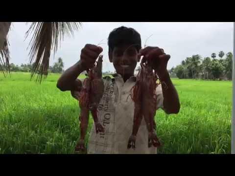 Cooking Big Prawns in My Village - Fresh Tiger Prawn kulambu - My Village My Food