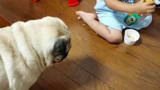 パグ犬ムゥが,子供に食事を邪魔されている動画です。毎日邪魔されます(...