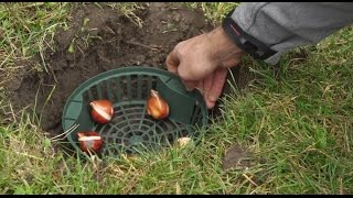 Jak sadzić i zaprawiać cebule kwiatowe