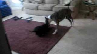 Staffordshire Bull Terrier Vs Boxer