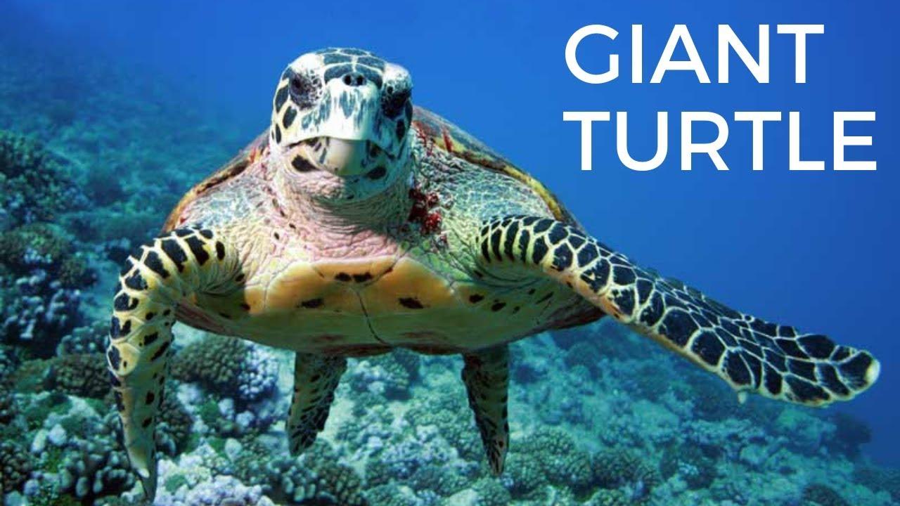 Dive Makadi Bay Egypt Hurghada Giant Turtle Riesen Schildkröte Tauchen ägypten