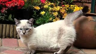 Кошки коротконожки породы Манчкин