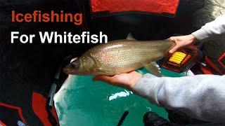 Ice fishing for whitefish on Lake Simcoe 2021
