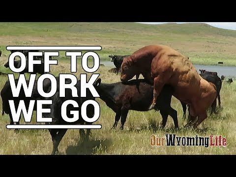 Putting Bulls In With The Cows on the Ranch
