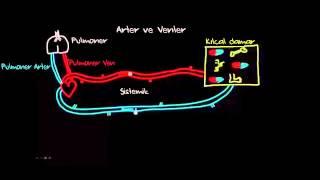 Atardamar ve Toplardamar Arasındaki Fark Nedir? (Fizik) (Sağlık ve Tıp)