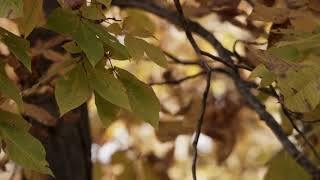 Video Not Licensed || Nature Scene With Focused Mottled Leaves In Foreground On Forest Background