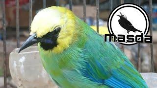 Download Burung cucak ranting gacor bongkar isian besetan dan tembakan